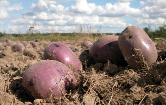 Le migliori varietà di patate