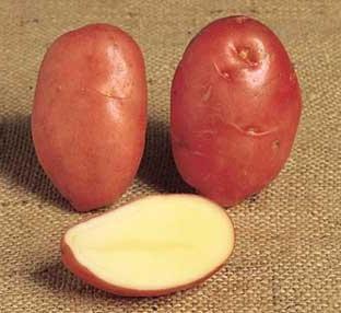 Nuove varietà di patate