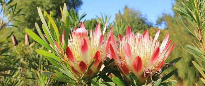 fiore di rosa protea rosa