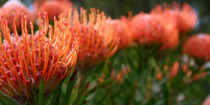 taglio di fiori protea