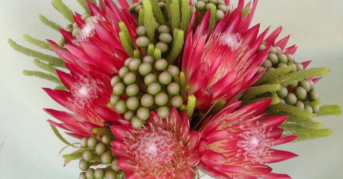 fiori di protea