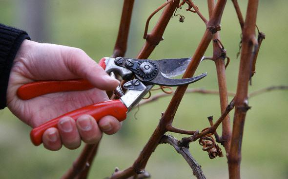 przycinanie winogron jesienią