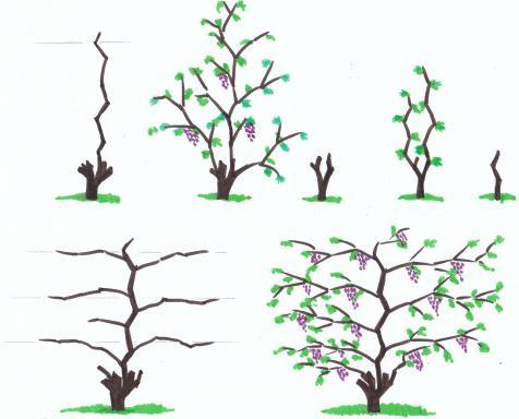 winogrona przycięte jesienią dla początkujących