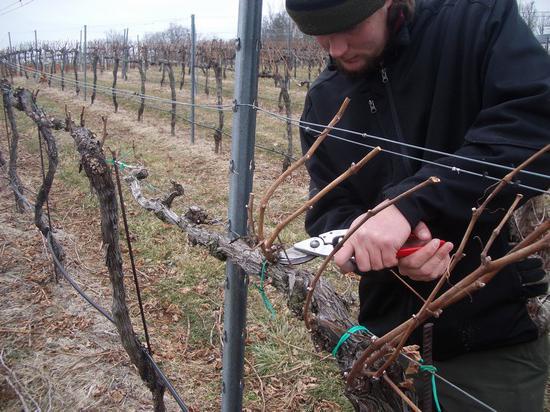 zbiory winogron na zdjęciach jesienią
