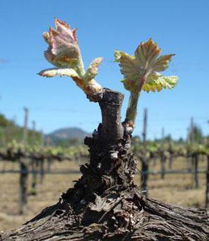 przycinanie jesienią winogron