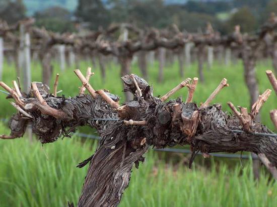 prawidłowe przycinanie winogron