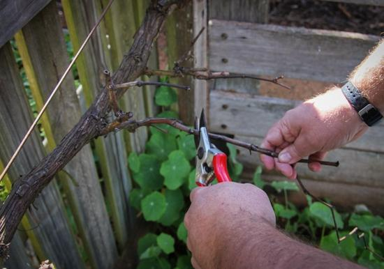 przycinanie młodych winogron
