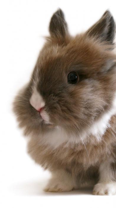 conigli decorativi domestici