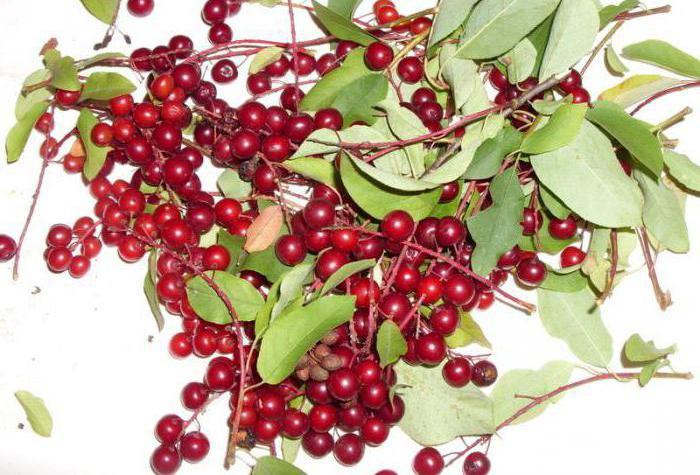 crvena trešnja za zimu