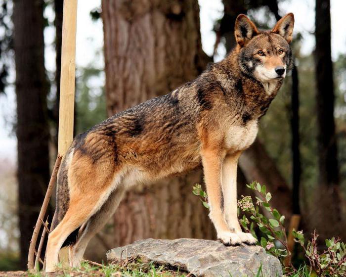 horský vlk