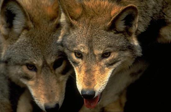 popis horského vlka