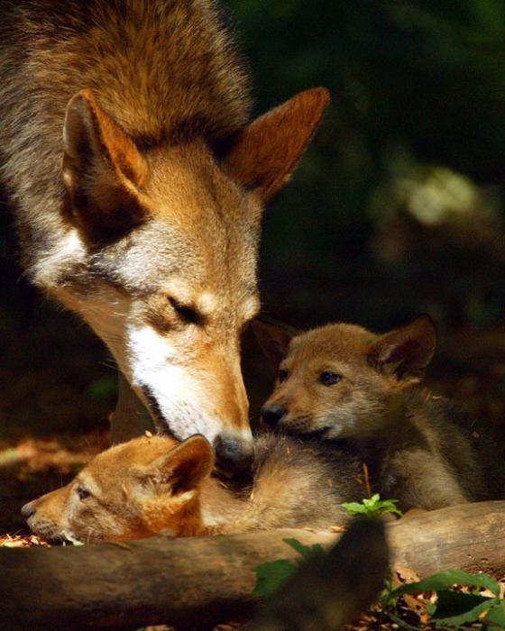 co živí červený nebo horský vlk