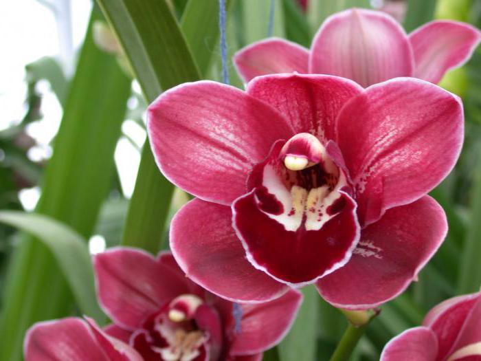 червена снимка на орхидея