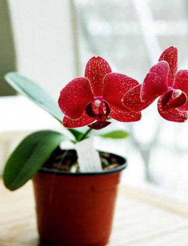 снимка на червени орхидеи