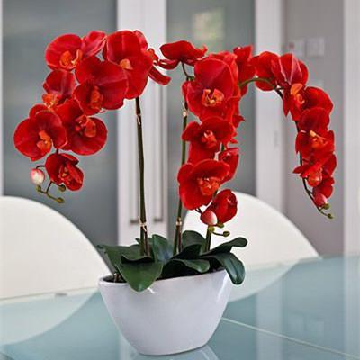 опис орхидеје црвени
