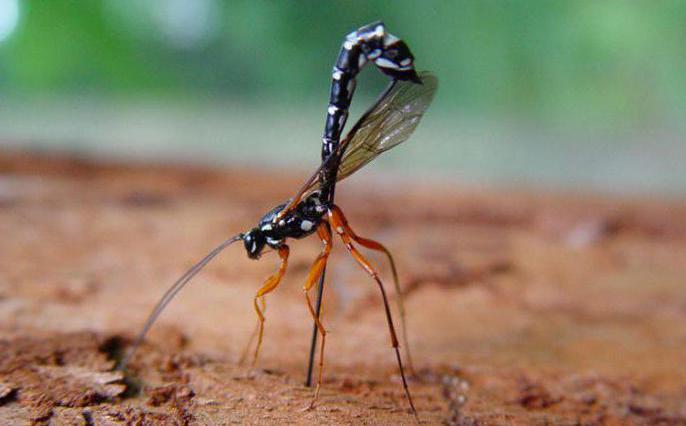 инсекти паразити коњаника