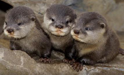 River Otter Animal