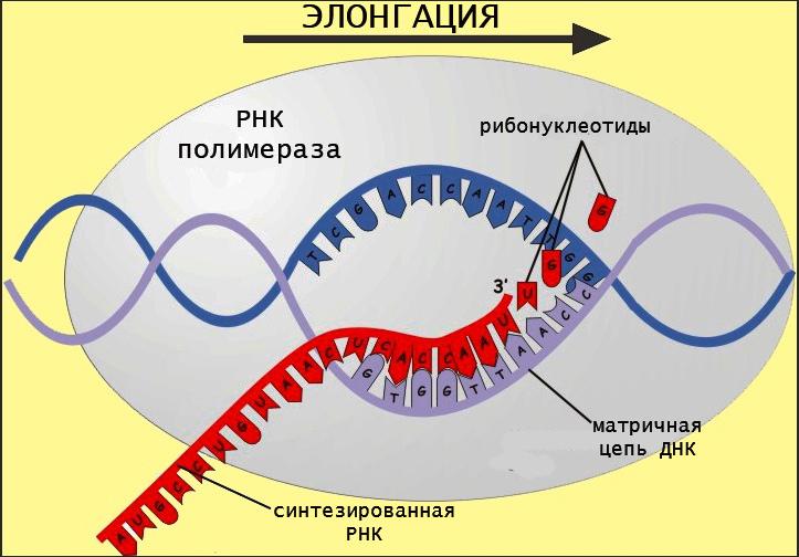 Processo di sintesi dell'RNA