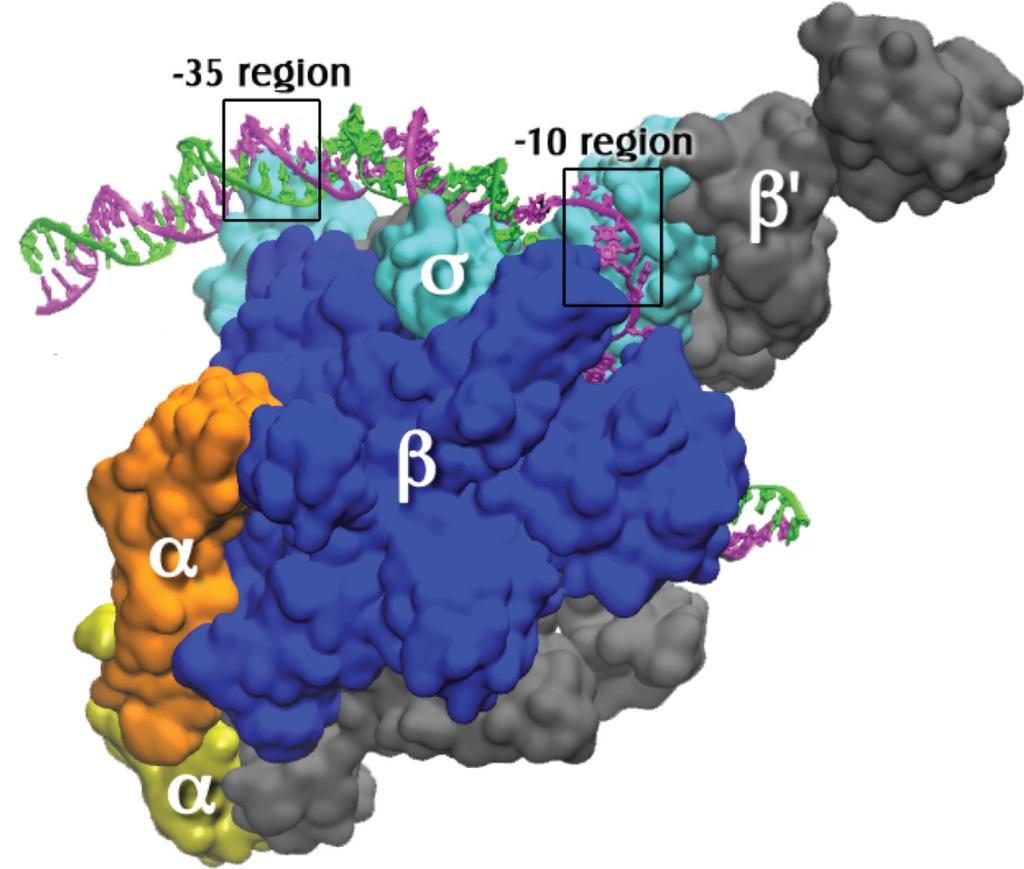 struttura molecolare dell'oloenzima