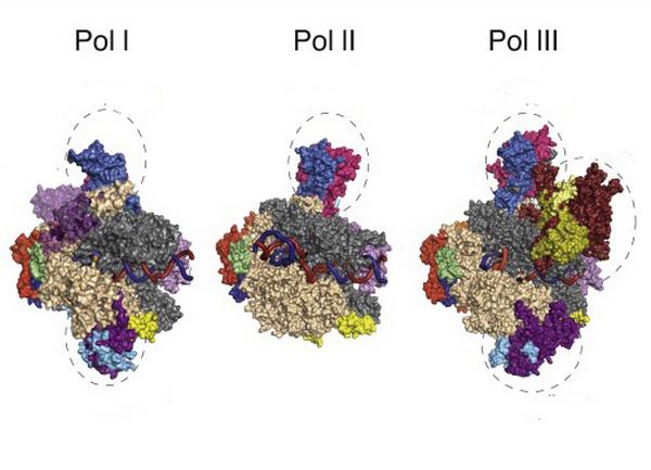 struttura molecolare delle RNA polimerasi eucariotiche