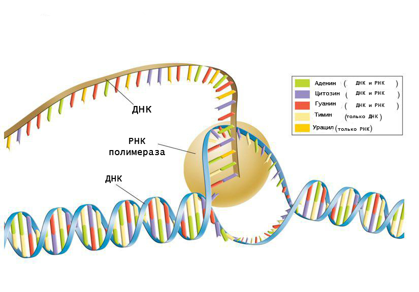 Principio di sintesi dell'RNA
