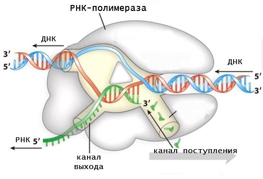 schema di RNA polimerasi