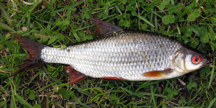 Płoć ryb