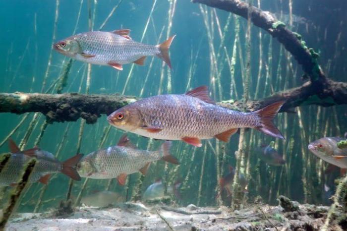 opis płoć ryb