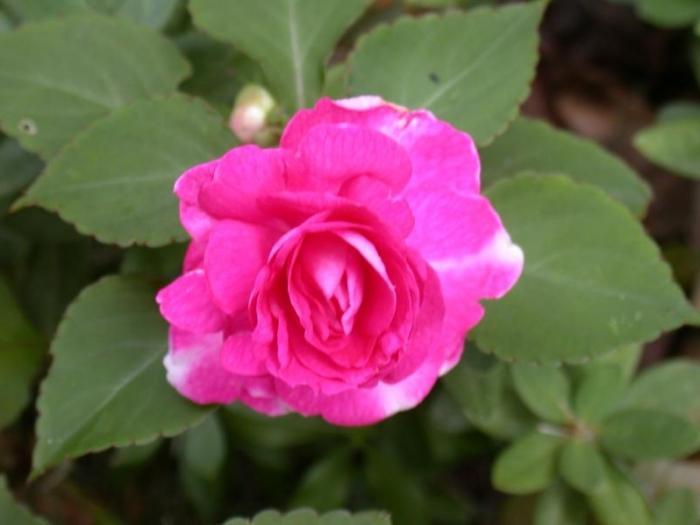 Roly cvet mokra fotografija