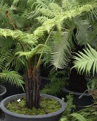 растителна папрат