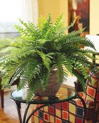 вътрешни растения папрат