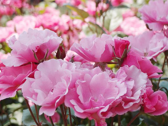 rosa angela