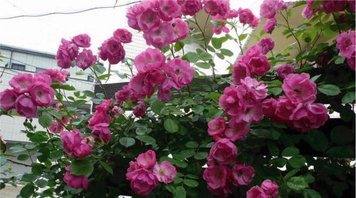 descrizione di rose angela