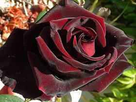 Rose Black Magic Описание