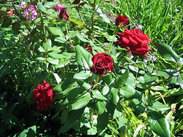 роза черна магия роза енциклопедия
