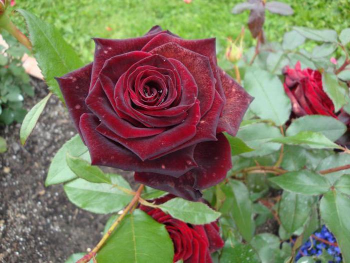 Роза сорт Черна магия