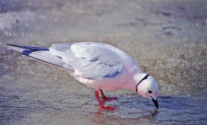 Rosa seagull: opis