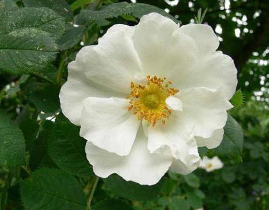 divoká růže bílá