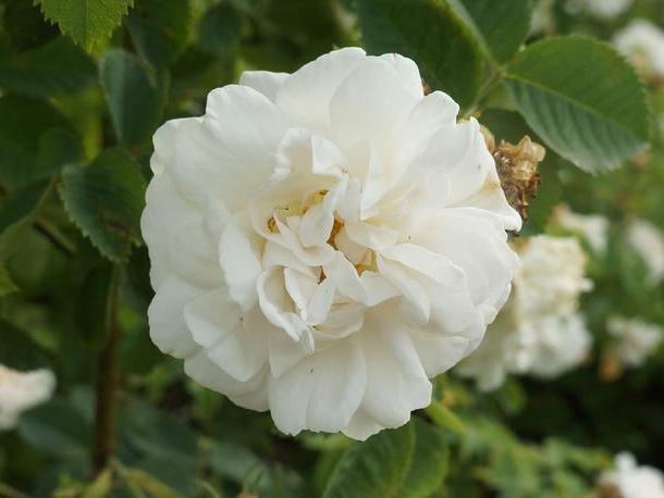 divoká růže bílá rosa alba