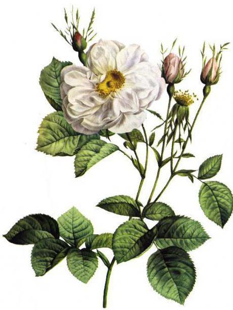 divoká růže divoká růže