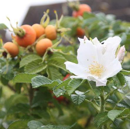 divoká růže s bílými květy
