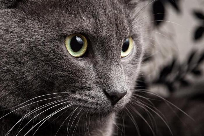 charakter ruských modrých koček