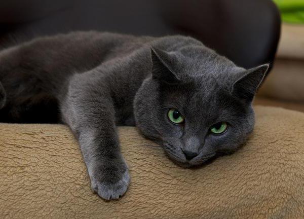 Ruská modrá kočka Popis plemene a charakteru