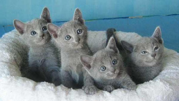 ruština modrá mačka postavy recenze