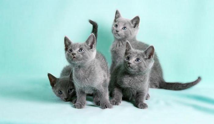 ruská modrá kočičí postava a chování