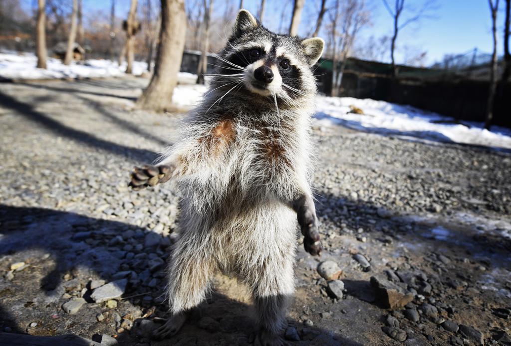Raccoon in Skotovo Safari Park