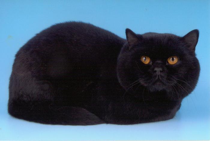 Škotska ravna mačka