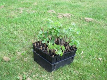 Tajemnice Ogrodnictwa Sadzenie Sadzonek Winogron