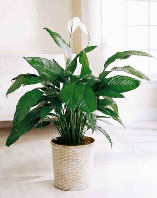 la pianta interna più amabile dell'ombra