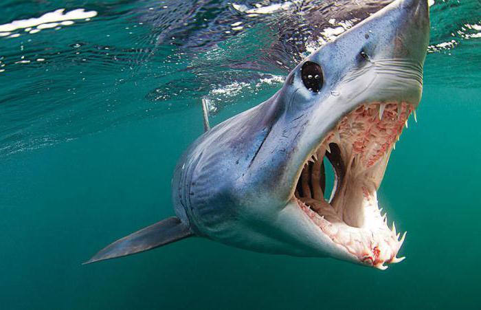 как изглежда майка акула